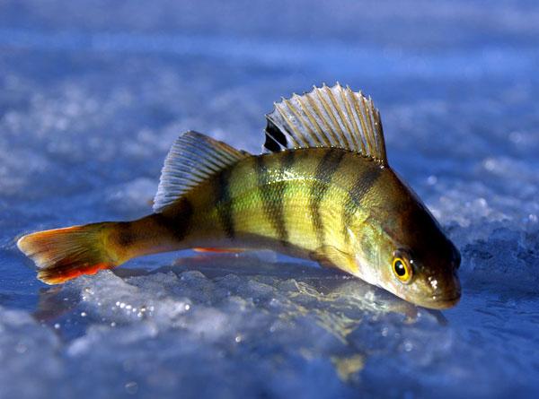 Зимняя рыбалка на окуня
