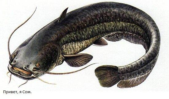 Уникальная рыба сом
